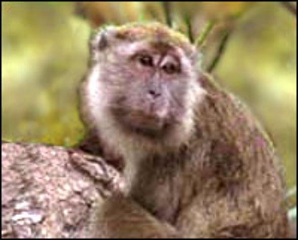 Monkey Protein Blocks HIV