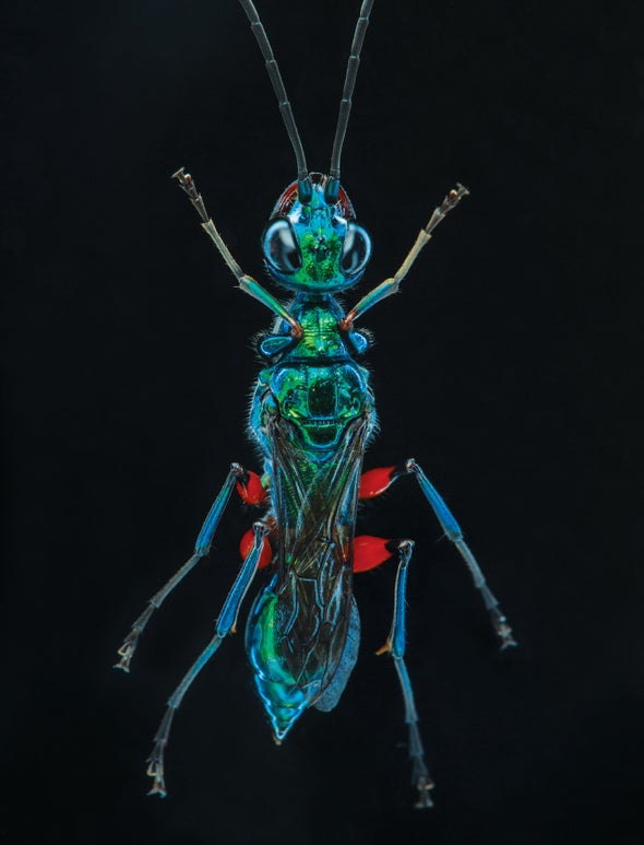 How a Wasp Turns Cockroaches into Zombies - Scientific American