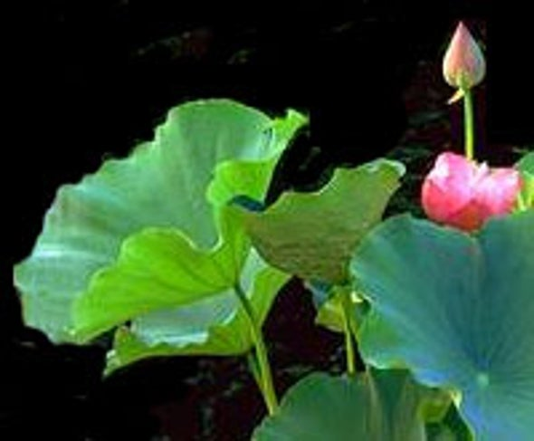 Lotus Leaf Inspires Waterproofing Scheme