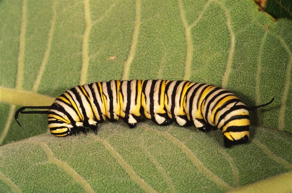 Rising CO2 Means Monarch Butterfly Bellyaches