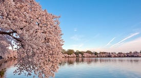 Cherry Blossoms May Bloom Earlier Than Ever This Year