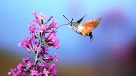 Hawk Moths Hold Steady When Faced with Turbulence
