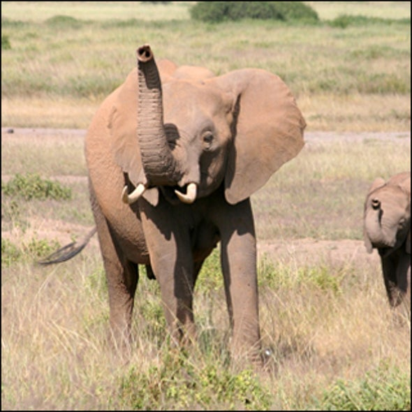 Elephants Use Smell of Fear to Sort Friend from Foe