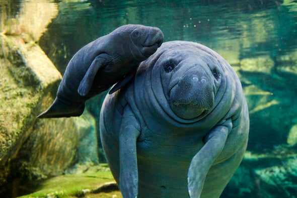 French Zoo Offers Rare Look at Baby Manatee - Scientific American