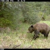STINK SAUCE ATTRACTS A GRIZZLY CUB: