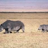 Black Rhinoceros <i>Diceros bicornis</i>