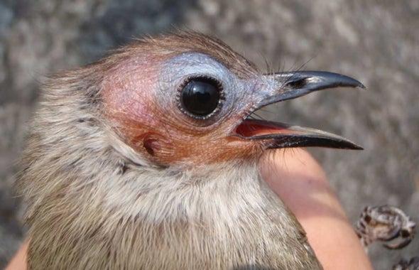 Asia's Bald Songbird