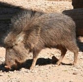 PICKOFF A PECCARY