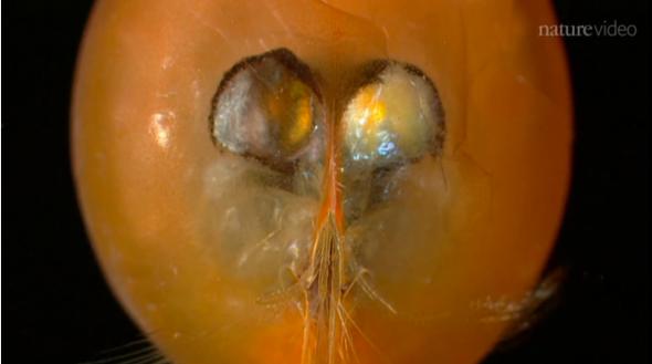 Giant Sperm Found in Crustacean Fossils