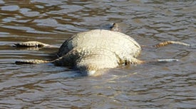 What Is Killing South African Crocs?