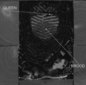 2-D QUEEN AND BROOD