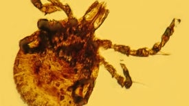 Lyme Disease's Possible Bacterial Predecessor Found in Ancient Tick