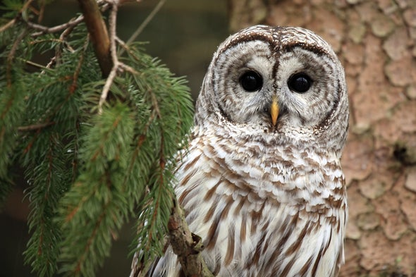 Barred Owls Invade the Sierra Nevada