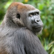Will Central Africa's Forest Wildlife Be Eaten into Extinction?