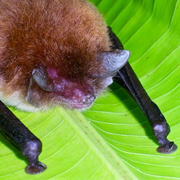 Bats Use Ear Trumpets for Social Calls