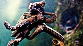 Octopus and Squid Populations Exploding Worldwide
