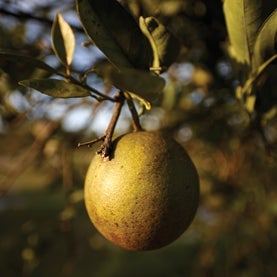 No More OJ? An Invasive Insect Threatens the Citrus Industry