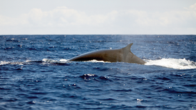 Nuclear Bomb Sensors Eavesdrop on Whales