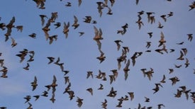 How to Count Bats without Looking at Them