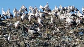 Garbage Pickings Get Storks to Stop Migrating
