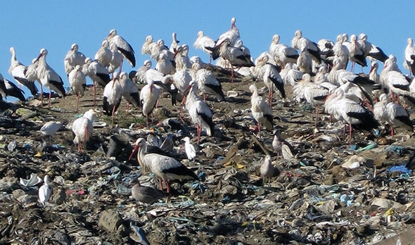Garbage Pickings Get Storks to Stop Migrating