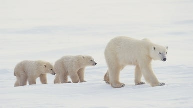 Polar Bears Can't Just Switch to Terrestrial Food