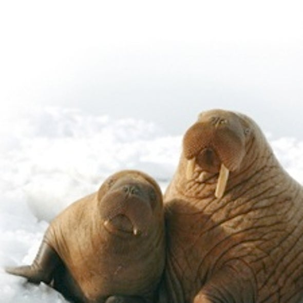 Unpredictable Arctic Ice Imperils Pacific Walrus