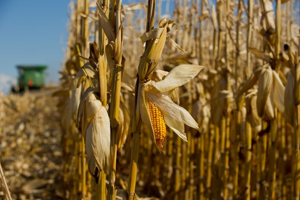 Rising Temperatures Could Cut Corn Production