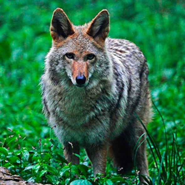 Weather Leads to Coyote Attacks on Pets in New Orleans