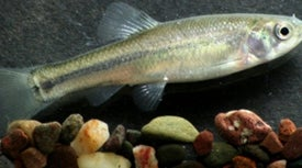 Diabetes Drug Makes Male Minnows More Female