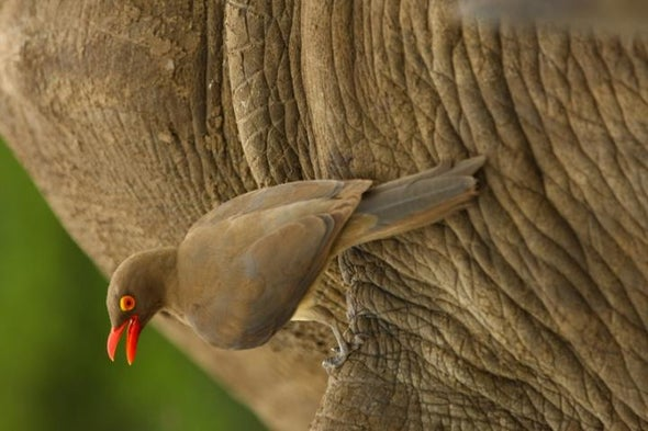 Birds on Rhinos' Back Help Them Avoid Poachers