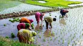 Rice Genes Could Be Key to Stemming Nitrogen Pollution