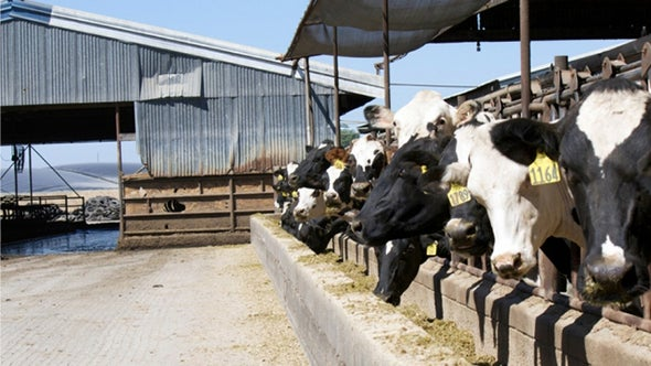 To Cut Methane from Cows, Put a Price on Carbon