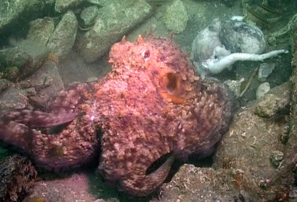 Octopus Cannibalism Captured for First Time