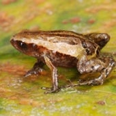 INTRODUCING NOBLE'S PYGMY FROG:
