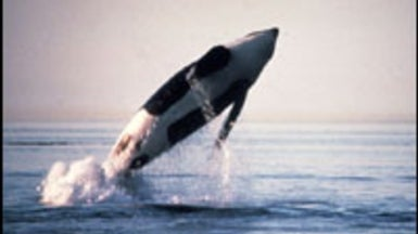 Tourist Boats Force Killer Whales to ¿Shout¿ above the Din
