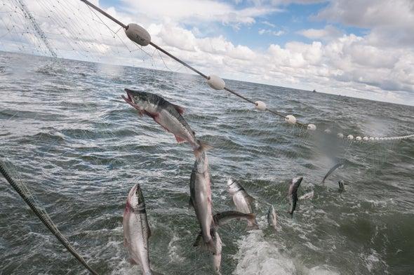 Alaska's Salmon Are Shrinking