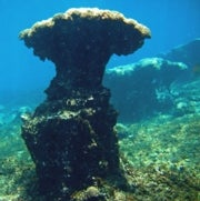 As Ocean Warms, Coral Loses Anchor in Acidic Waters