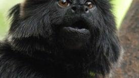 Monkey's Alarm Calls Reveal Predator's Who and Where