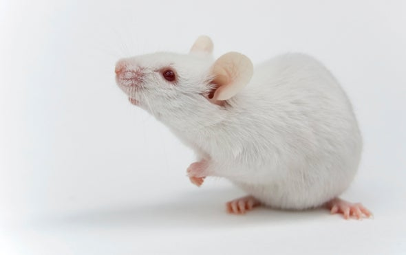 Gene Drives Shown to Work in Female Mice