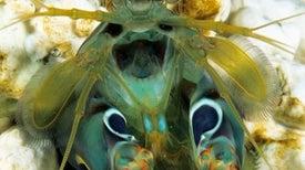Mantis Shrimp Has Built-In Shades