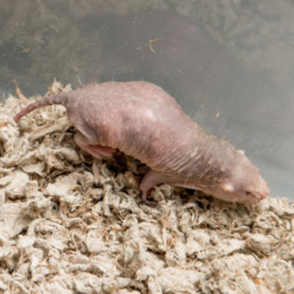 Simple Molecule Surrounding Cells in Mole Rats Prevents Them from Getting Cancer