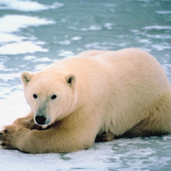 Freeze Out: Can Polar Bears Survive a Melting Arctic?