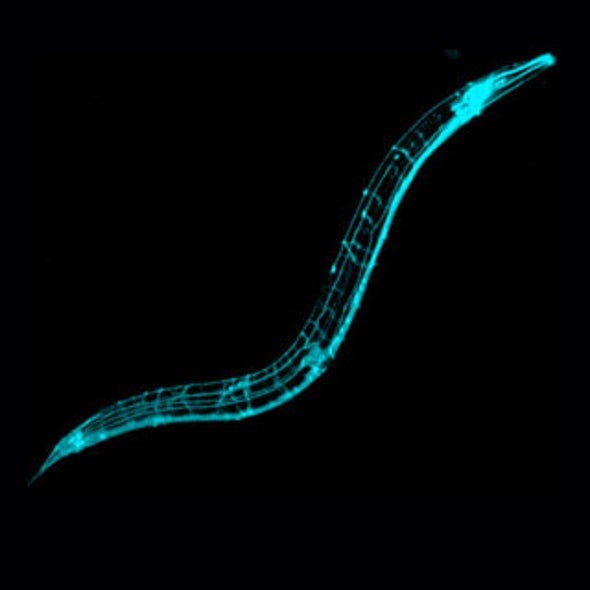 The Secret to a Longer (Worm's) Life: A Breath of Poison Gas