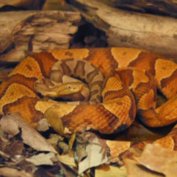 Virgin Births Seen in Wild Vipers