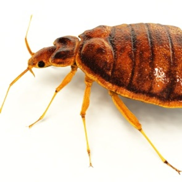 Genetics Explain How Bedbugs Infest a Building--or a Country