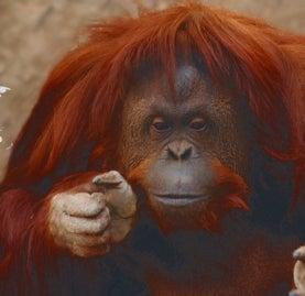 Argentina Grants an Orangutan Human-Like Rights