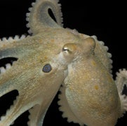 Asocial Octopuses Become Cuddly on MDMA