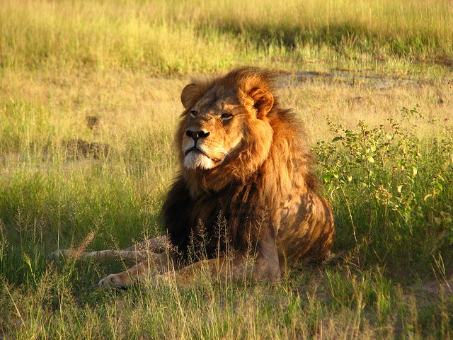Cecil's Death Highlights Struggle to Conserve Lions