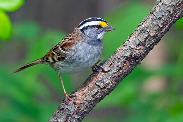 Sparrow Song Undergoes Key Change